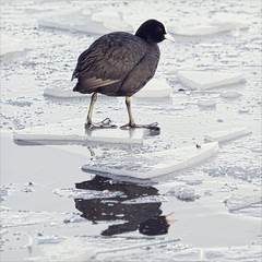 skating on thin ice (Black Cat Photos) Tags: uk winter england lake cold bird feet ice broken nature water canon blackcat photography frozen photo europe wildlife freezing reserve m redeye coot tolerate fairburn fairburnings cantankerous closeproximity blackcatphotos