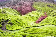 Sg Palas Tea Plantation (Infrared) (2121studio) Tags: nature ir nikon surrealism dream nikond50 ali illusion malaysia infrared indah cameronhighlands wonderland kuantan alam mimpi malaysianphotographer drali ilusi khayalan sgpalasteaplantation convertedinfraredcamera 2121studio kuantanphotographer pahangphotographer ciptaanallahswt malaysianinfraredphotographer 0139342121 nubleebinshamsubahar