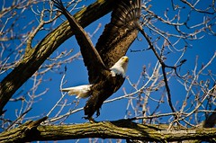 American Bald Eagle (Tiger Imagery) Tags: bird nature birds illinois nikon eagle wildlife baldeagle mississippiriver eagles raptors birdsofprey americanbaldeagle baldeagles baldies americanbaldeagles largebirds quincyil quincyillinois nikond7000