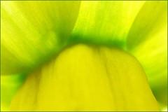 PRINTEMPS (dtail) (ctey) Tags: flower macro fleur yellow jaune spring narcisse printemps jonquille thegalaxy flickrstruereflection1 flickrstruereflection2