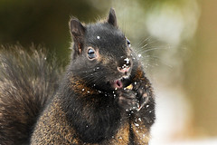 I'm Having A Snack...Do You Mind? (affinity579) Tags: winter wild portrait snow canada black animal closeup nikon squirrel quebec eating wildlife 70200mm 2xteleconverter specanimal d700