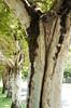 Bark (Lauren Barkume) Tags: africa street trees southafrica bark photowalk artdeco johannesburg joburg 2012 gauteng lined johanesburg eastrand photowalkers laurenbarkume gettyimagesmeandafrica1