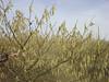 3251 filbert pollen yamhill (growing hazelnuts) Tags: orchard filbert