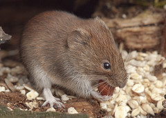 Bank Vole with Peanut (John (Gio) * OVER 100,000 VIEWS *) Tags: nature mammal kent wildlife olympus gio smallmammal fourthirds bankvole muridae clethrionomysglareolus zuikodigitaled50200mmf2835swd
