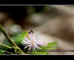 Touch me not (Shoummo ()) Tags: macro bangladesh macrophotography srimongol  lawachora  saeedshoummo   shoummo