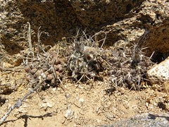 DSCN8591 (Robby's Sukkulentenseite) Tags: chile cactus cacti coquimbo spinne insekt tier reise kaktus kakteen eriosyce standort eltrapiche horridocactus heinrichiana ka4670s rb2038