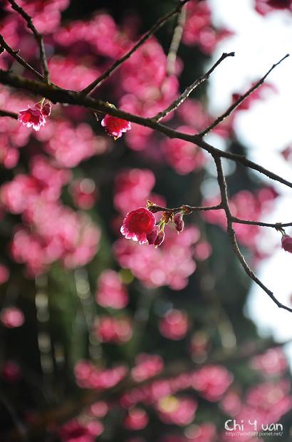 2012陽明山花季17.jpg