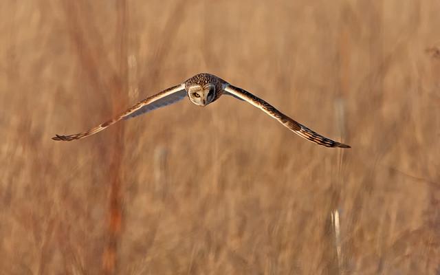 Short-eared Owl quartering