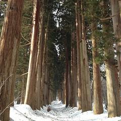 JRのCMで 吉永小百合さんが歩いたという杉並木。奥まで行けなかったのが残念。。。