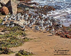 Shore birds - Souris, Prince Edward Island, Canada (PhotosToArtByMike) Tags: sea seascape canada beach birds landscape seaside sand scenic princeedwardisland souris pei shorebirds landscapephotograph