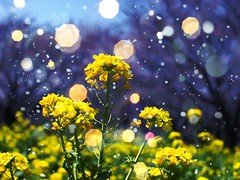 (shunkoba) Tags: winter flower yellow f14 benefit app  sigma30