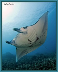 Melainah Ray (Explored) (bodiver) Tags: ray wideangle manta fins orcadivers