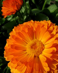 Classy Calendula by My Lovely Wife (Explore #243 2/26/12) (Puzzler4879) Tags: orange ngc pointshoot canonpowershot calendula orangeflowers potmarigold canondigital queenscountyfarmmuseum canonaseries floralfantasy canonphotography perfectpetals canonpointshoot orangecalendula a580 worldofflowers herbalplants canona580 canonpowershota580 powershota580 magicalskies unforgettableflowers floralfantasia universeofnature naturewithallitswonders mygearandme naturespotofgoldlevel1 level1photographyforrecreation ~~fragrantflowers~~ redgroupno1 prestigenaturecompetitionsrus level1autofocus