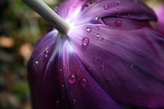 Bottom of the Tulip (Read2me) Tags: flower purple stem drops water tulip tcfunanimous thechallengefactory pregamewinner challengeyouwinner friendlychallenges herowinner superherochallengewinner gamewinner storybookwinner storybookchallengegroupotr challengegamewinner thumbsupwinner ultraherowinner gamex2winner x2 gamex3winner x3 agcgwinner yourockwinner pog bigmomma 3waychallengewinner flickrchallengegroup flickrchallengewinner 15challengeswinner pog2 challengeclubwinner ultimategrind perpetualchallengewinner storybookttw