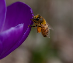 Holdin On~ (Connie Etter Photography) Tags: flower macro canon spring close indiana crocus 100mm 5dmarkii