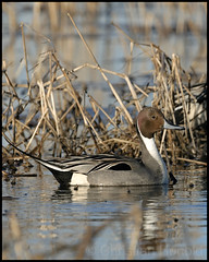 northern pintail drake (christianhunold) Tags: bird duck drake brigantine northernpintail christianhunold