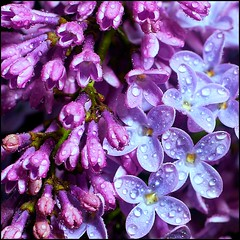 Bye (Pilar Azaa Taln ) Tags: color love luz hope bye aftertherain lilacs lilas malva formyfriends misflores despusdelalluvia paramisamigos pilarazaataln mislilas copyrightpilarazaataln