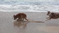 digging in (eschipul) Tags: ocean travel moon beach dogs water beautiful bay pacific highway1 pacificocean half westcoast halfmoonbay fetch hmb halfmoonbayplay
