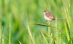 Plain Prinia (EXPLORED!) (Koshyk) Tags: wheat ear priniainornata prinia plainprinia wheatear prinainornata