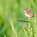 Plain Prinia (EXPLORED!)