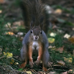 Low light poofytail (TomiTapio) Tags: standing pose helsinki eyes squirrel ears stare orava staring écureuil sciurusvulgaris sqrl eurasianredsquirrel kurre rarepose