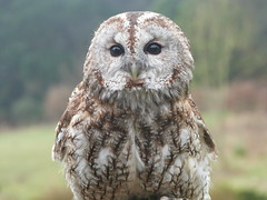 Toby (GillWilson) Tags: worldowltrust