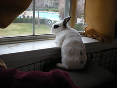 Ella (tammybeck) Tags: rabbit bunny konijn conejo ella coelho lapin kaninchen 2012 coniglio kani 兔 cwningen ウサギ kanin кролик królik zec hotot κουνέλι thỏ iepure kuneho králík กระต่าย sungura coinín קיניגל