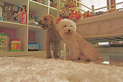bff (girl enchanted) Tags: friends ikea dogs puppies shelf doggies bff toypoodle toyroom besties whitepoodle poodlepuppy redpoodle dollyroom