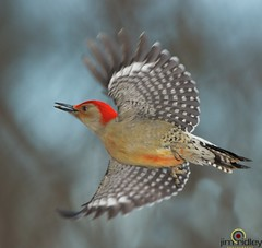 The Red-bellied Woodpecker (JRIDLEY1) Tags: blue red flying wings nut redbelliedwoodpecker melanerpescarolinus brightonmichigan thewonderfulworldofbirds jridley1 jimridley httpjimridleyzenfoliocom mygearandme photocontesttnc12