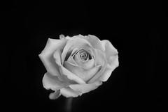 White Rose (henrygunn) Tags: white plant black flower love nature floral beautiful beauty rose 35mm botanical leaf petals spring flora natural blossom gardening valentine petal fragrant bloom flowering blossoming flowerhead nikon35mmf18g
