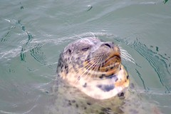 The seal of approval (Insomnious247) Tags: bc seal sidney