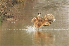 Close.. But not close enough (hvhe1) Tags: holland nature wet animal mammal one jump hare crossing ditch wildlife thenetherlands miss waterdrops haas goooood lepuseuropaeus hvhe1 hennievanheerden europeanbrownhare
