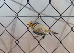 Robin (Erithacus rubecula) (Panayotis1) Tags: nature robin birds canon erithacusrubecula erithacus aves greece pro usm 300 af animalia 400mm passeriformes kenko 14x chordata  muscicapidae 560mm canonef400mmf56lusm dgx imathia aggelochori     kenkopro300afdgx14x