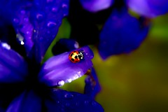 Iris laevigata & Coccinellidae (Nicolas@yokohama) Tags: flower sigma dp1