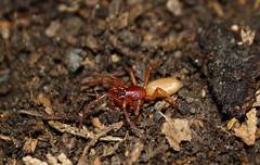 Woodlouse spider (Dysdera crocata) (Robert wright.) Tags: nature bug insect spider wildlife animalia arthropoda arachnida entomology arachnology araneae woodlouse dysderacrocata araneomorphae dysderidae woodlousespider