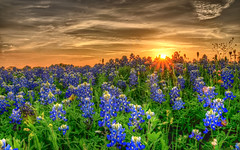 Texas Bluebonnets (Ronnie Wiggin) Tags: flowers trees sunset usa nature sunrise fence landscape spring nikon gate texas country wildflowers hdr bluebonnets springtime fenceline d300 bloomingflowers texasbluebonnets nikond300 rwigginphotos ronniewiggin ronniewiggin
