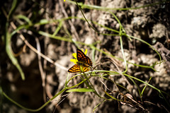 Copper Butterfly _0265.jpg (eyemac23) Tags: canon butterfly wildlife lepidoptera wellington karorisanctuary zealandia copperbutterfly april2012 pepeparariki