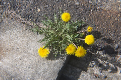 Dandelion (nag #12) Tags: road plants flower lens puddle dof bokeh pavement ground structure asphalt artifact the surfaceholga