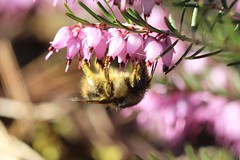 Bumble bee on heather. Olympia, WA (Megan Asche) Tags: plant color macro nature animal work canon bug hair insect eyes colorful wasp natural legs megan science petal bee busy stamen worker pollen antenna arthropoda scientist entomology entomologist arthropod beekeeper hymenoptera insecta pollenate pollenator asche hexapoda uploaded:by=flickrmobile flickriosapp:filter=nofilter meganasche