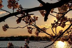 DSC_3098-4 (yurivestil) Tags: flowers sunset sun leaves weather cherry dc washington spring warm blossom crowd basin tidal