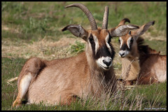 Roan antelope (Hippotragus equinus) (Xavier Bayod Farr) Tags: antelope xavier bovidae roan africaine equino sigean ruano bayod artiodactyla rserve hippotragus equ farr antlope roanantelope hippotraginae equinus hippotragusequinus antlop canoneos60d sigma120400 pferdeantilope rserveafricainedesigean antloperuano xavierbayod xavierbayodfarr antlopequ antlopeequino