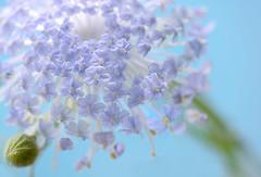 Blue lace flower (qooh88) Tags: blue clarity pistil transparency  paleblue    trachymene           trachymenecaerulea