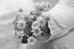 the beauty of offering ....b/w (Love me tender .**..*) Tags: flowers blackandwhite monochrome bokeh offer greece daisy 2014 dimitra nikond3100 kirgiannaki