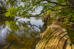 Fallen Giant...       Explored 12/05/2016 (Moonbags) Tags: trees england lake nature woods sony northumberland enchanted hoya sigma1020mm polariser bolam sonya77