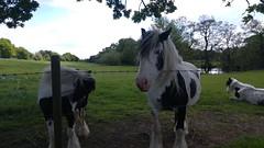 Geocaching Walk (15 May 2016): Horses at Moulton (jharding534) Tags: horses moulton
