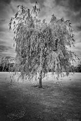 Trauerweide 1 (rainerneumann831) Tags: blackwhite landschaft baum ladenburg trauerweide