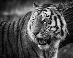 Tiger (chmeermann | www.chm-photography.com) Tags: bw monochrome photoshop tiere blackwhite nikon tiger sw tamron lightroom schwarzweis raubkatzen querformat landscapeformat d7100 saugetiere silverefexpro2 150600mmf5063