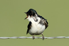 Tachycineta bicolor (Tree Swallow) (Nick Dean1) Tags: aves swallow washingtonstate oiseau animalia vogel birdwatcher cleelum treeswallow tachycinetabicolor passeriformes washingtonusa passerine voel canon7d thewonderfulworldofbirds birdperfect