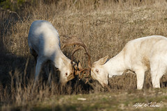 Horse Play (Alfred J. Lockwood Photography) Tags: morning winter nature stag texas wildlife fallowdeer buck sparring glenrose fossilrim fossilrimwildlifecenter alfredjlockwood