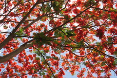 fire tree (FLAMBOUYANT TREE) (DOLCEVITALUX) Tags: flowers flower fauna flora philippines medicinalplants flambouyanttree firetree